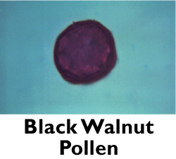 Black Walnut Pollen