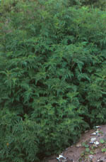 Short Ragweed (young)