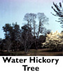 Water Hickory Tree